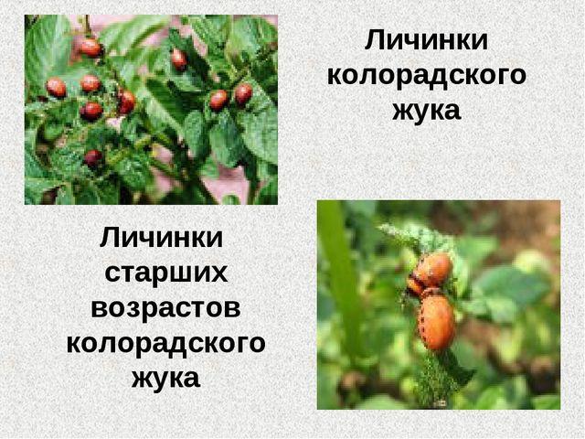 Личинки колорадского жука Личинки старших возрастов колорадского жука