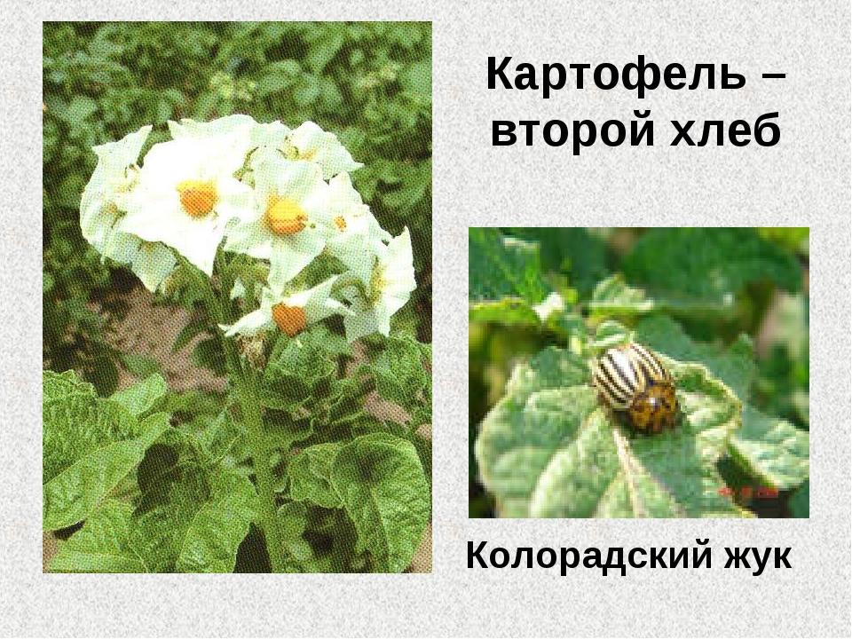 Картофель – второй хлеб Колорадский жук