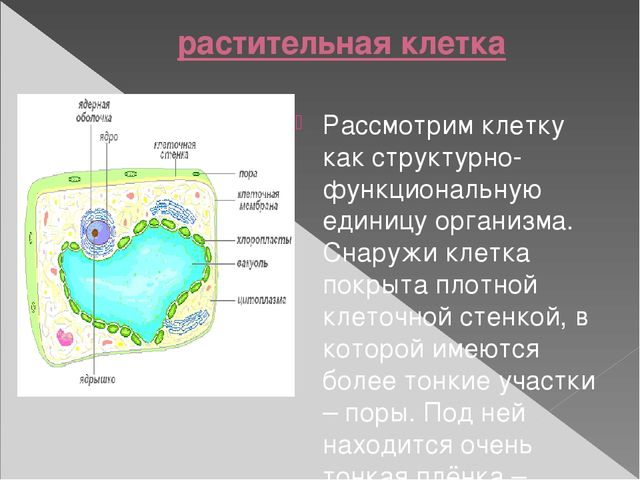 растительная клетка Рассмотрим клетку как структурно-функциональную единицу...