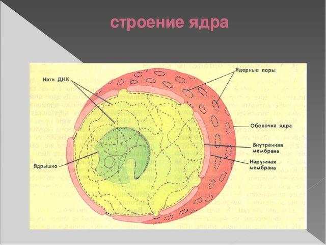 Ядерная оболочка отграничивает содержимое ядра осуществляет обмен веществ меж...