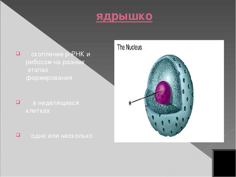 Функции ядра хранение и воспроизведение генетической информации регуляция про...