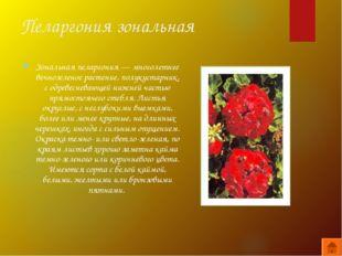 Пеларгония зональная Зональная пеларгония — многолетнее вечнозеленое растение