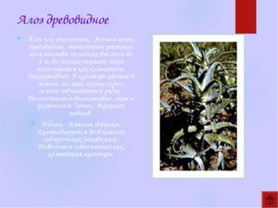 Алоэ древовидное Алоэ или столетник - вечнозеленое, древовидное, многолетнее