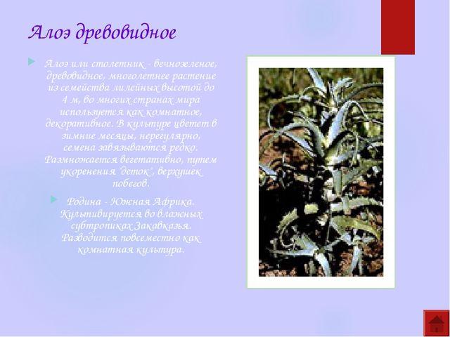 Алоэ древовидное Алоэ или столетник - вечнозеленое, древовидное, многолетнее...