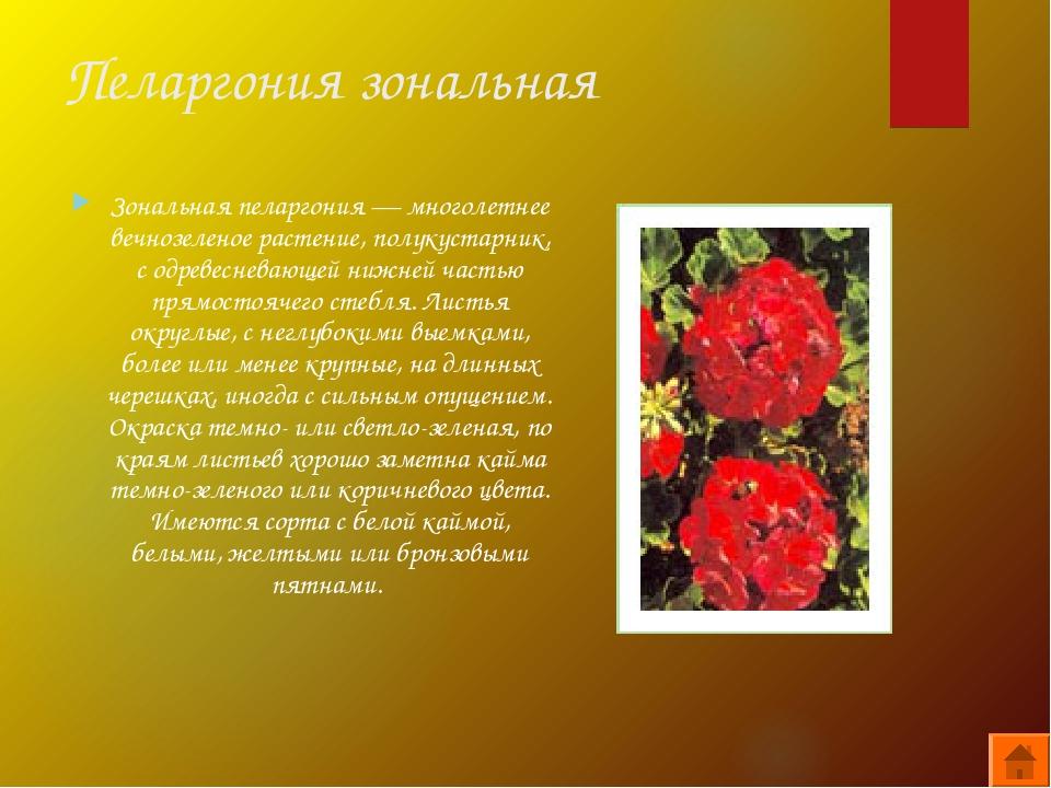 Пеларгония зональная Зональная пеларгония — многолетнее вечнозеленое растение...