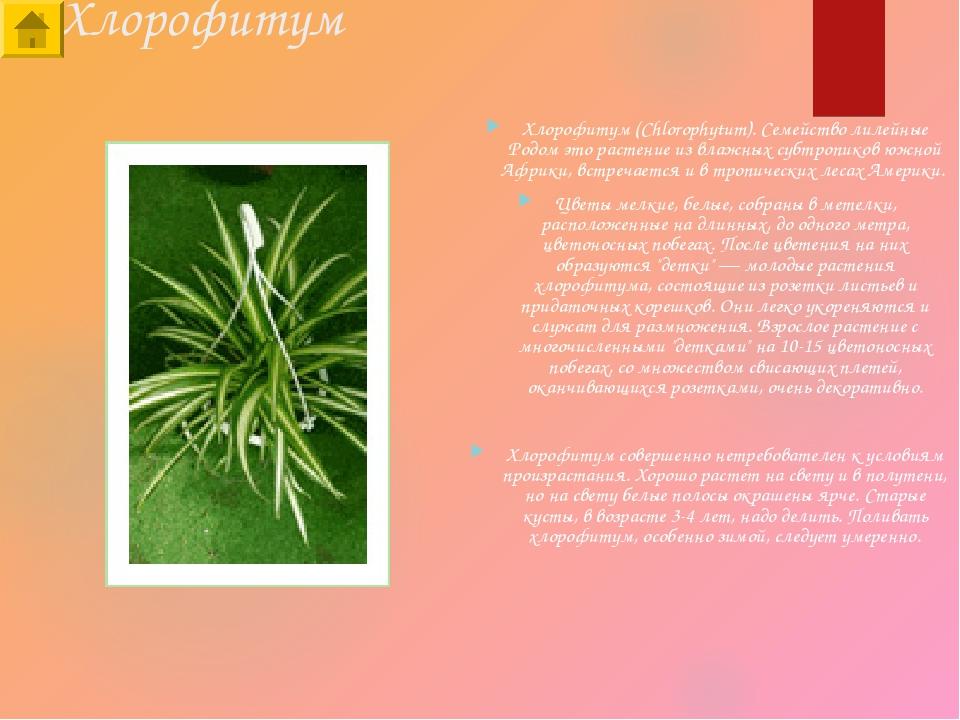 Хлорофитум Хлорофитум (Chlorophytum). Семейство лилейные Родом это растение и...