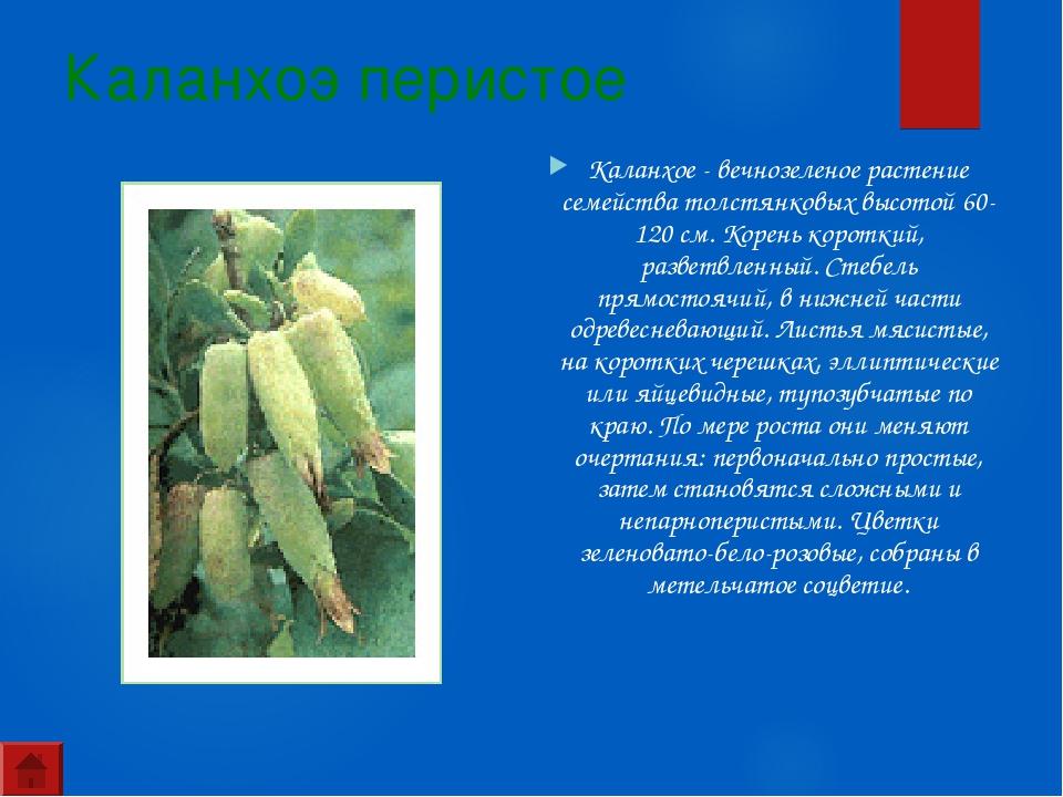 Каланхоэ перистое Каланхое - вечнозеленое растение семейства толстянковых выс...