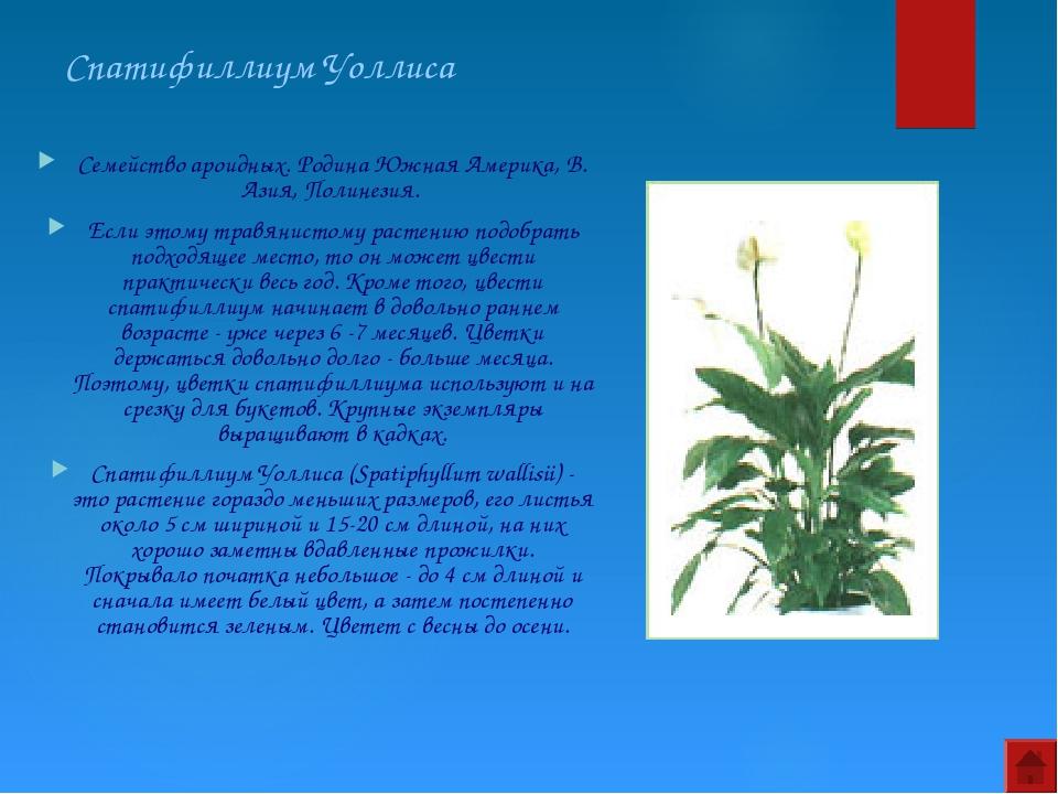 Спатифиллиум Уоллиса Семейство ароидных. Родина Южная Америка, В. Азия, Полин...