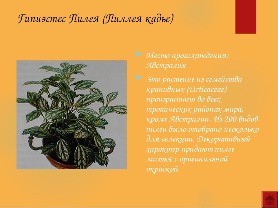 Гипиэстес Пилея (Пиллея кадье) Место происхождения: Австралия Это растение из...