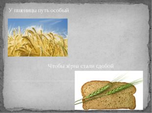 Чтобы зёрна стали сдобой У пшеницы путь особый