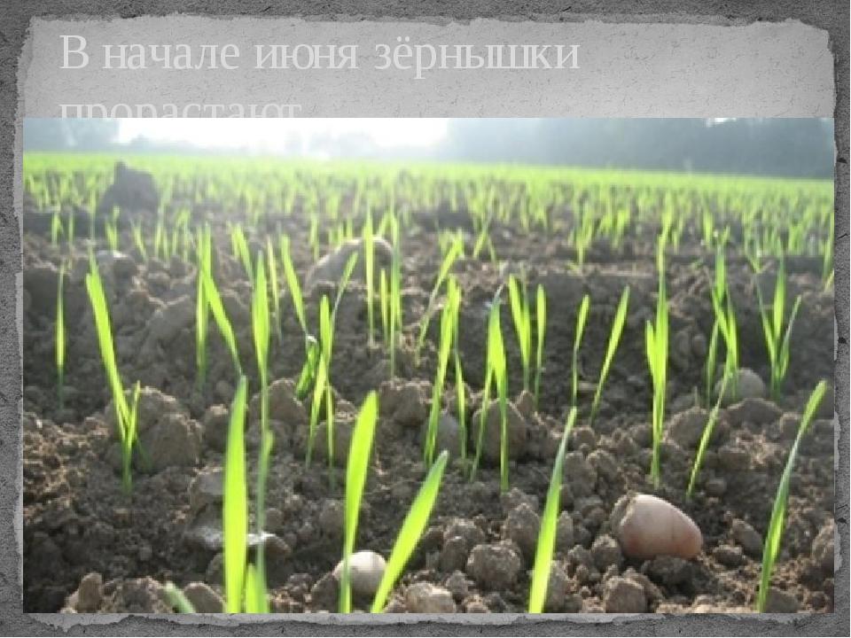 В начале июня зёрнышки прорастают