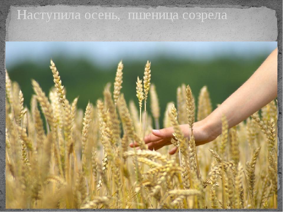 Наступила осень, пшеница созрела