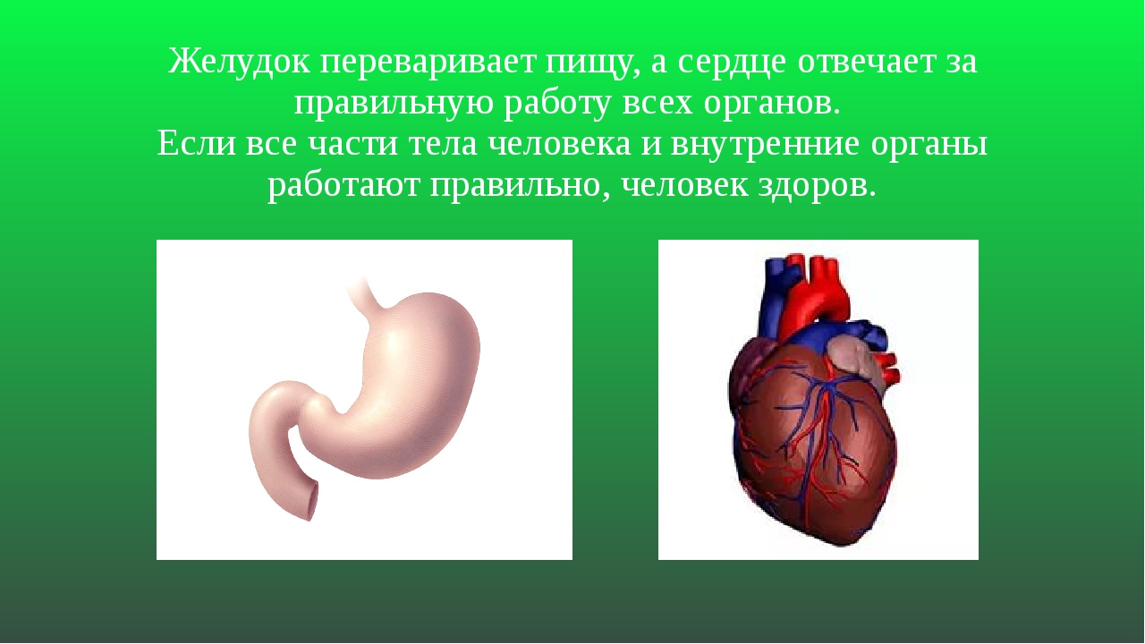 Желудок переваривает пищу, а сердце отвечает за правильную работу всех органо...