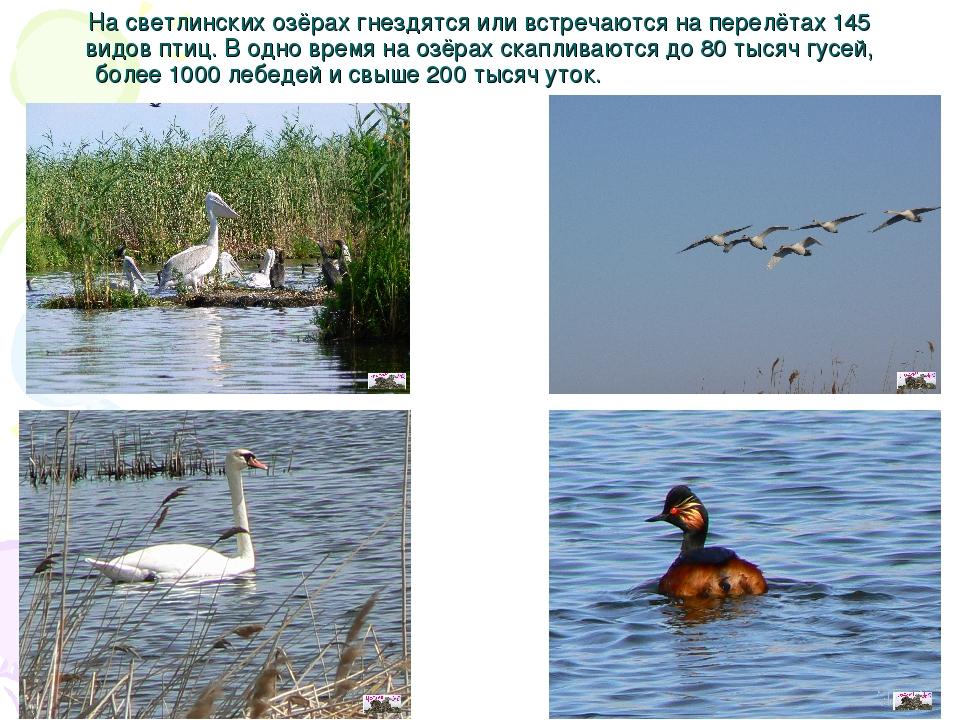 На светлинских озёрах гнездятся или встречаются на перелётах 145 видов птиц....