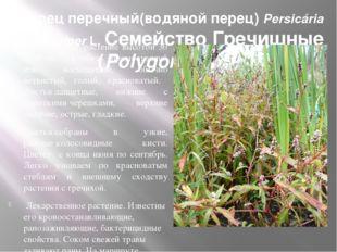 Горец перечный(водяной перец) Persicária hydropíper L. Семейство Гречишные (