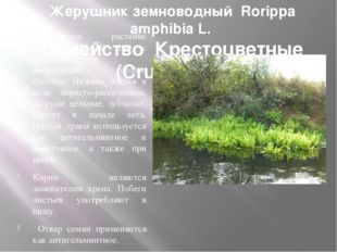 Жерушник земноводный Rorippa amphibia L. Семейство Крестоцветные (Cruciferae)