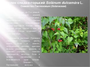 Паслен сладко-горький Solánum dulcamáraL. Семейство Пасленовые (Solanaceae)
