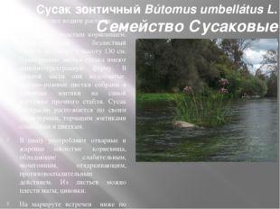 Сусак зонтичный Bútomus umbellátus L. Семейство Сусаковые (Bútomuseae) Многол