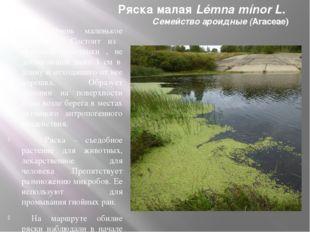 Ряска малая Lémna mínor L. Семейство ароидные (Araceae) Очень маленькое расте