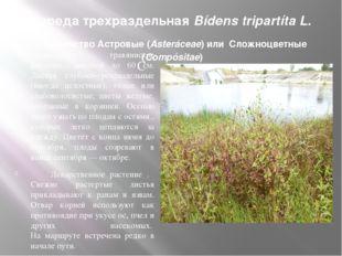 Череда трехраздельная Bídens tripartíta L. Семейство Астровые (Asteráceae) ил