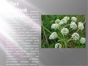 Вех ядовитый (Цикута) Одно из самых ядовитых растений. Ядовито всё растение,