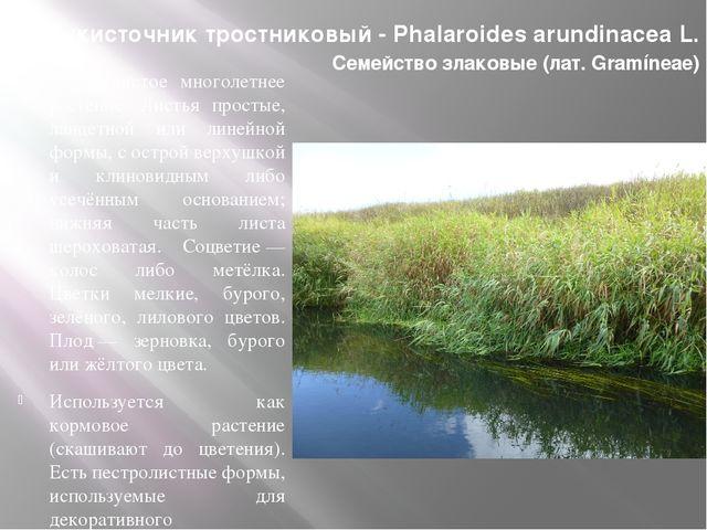 Двукисточник тростниковый- Phalaroides arundinacea L. Семейство злаковые(ла...