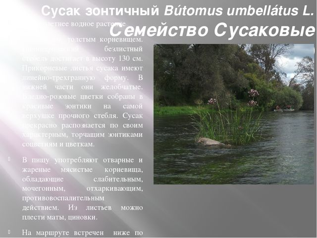 Сусак зонтичный Bútomus umbellátus L. Семейство Сусаковые (Bútomuseae) Многол...