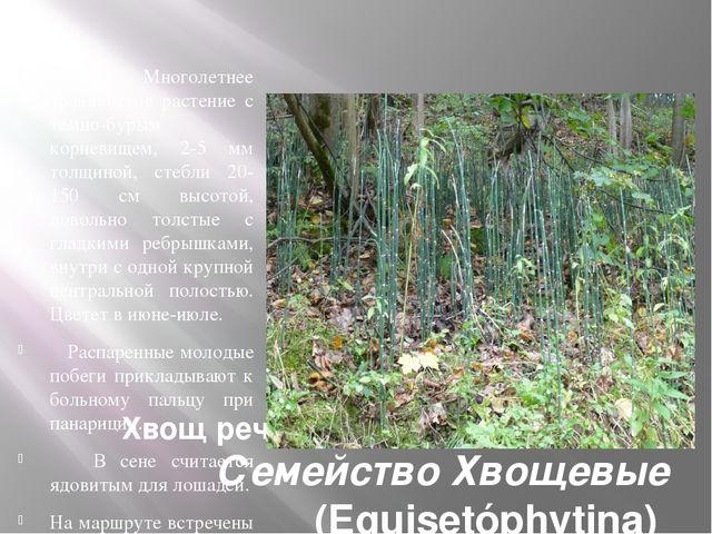 Хвощ речной Equisctum fluviatile L. Семейство Хвощевые (Equisetóphytina) Мн...