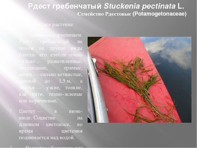 Рдест гребенчатый Stuckenia pectinataL. Семейство Рдестовые (Potamogetonacea...