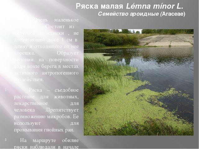 Ряска малая Lémna mínor L. Семейство ароидные (Araceae) Очень маленькое расте...
