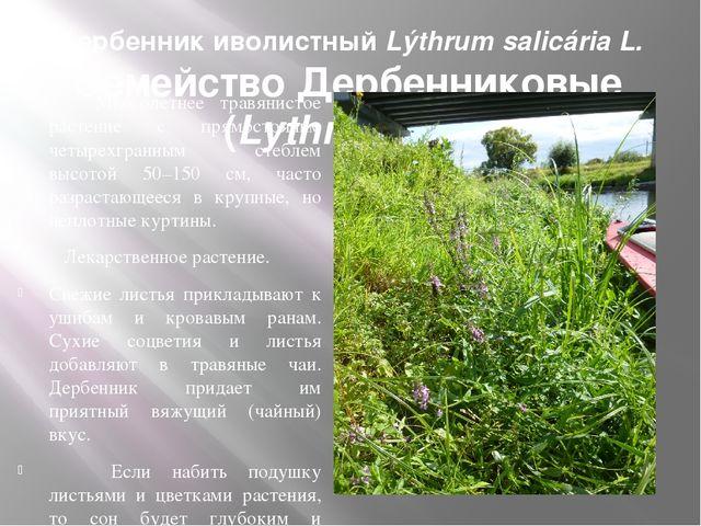 Дербенник иволистный Lýthrum salicária L. Семейство Дербенниковые (Lythraceae...