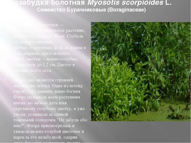 Незабудка болотная Myosótis scorpióides L. Семейство Бурачниковые (Boraginace...