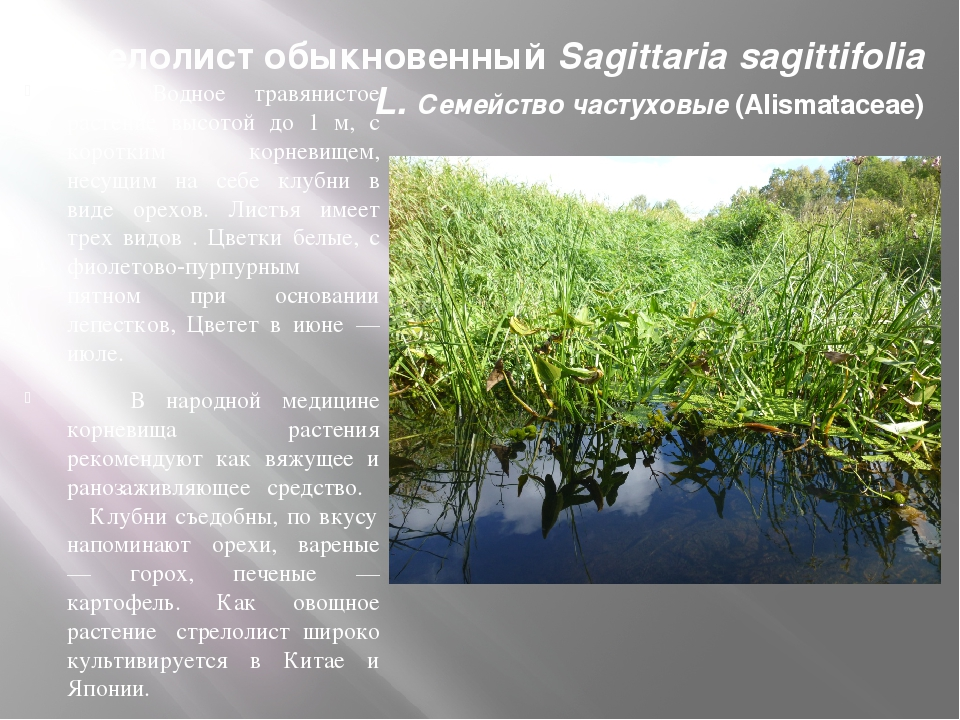 Стрелолист обыкновенный Sagittaria sagittifolia L. Семейство частуховые (Alis...