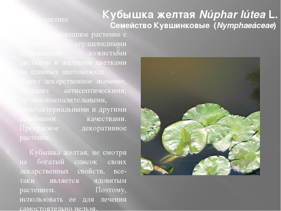 Кубышка желтая Núphar lútea L. Семейство Кувшинковые (Nymphaeáceae) Многоле...