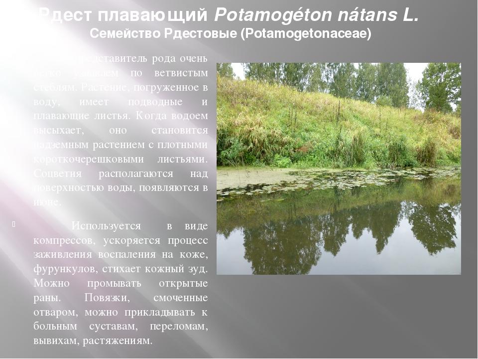 Рдест плавающий Potamogéton nátans L. Семейство Рдестовые (Potamogetonaceae)...