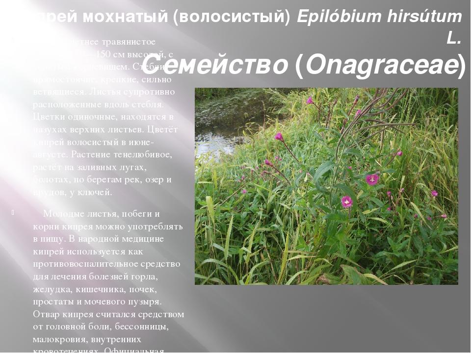 Кипрей мохнатый (волосистый) Epilóbium hirsútum L. Семейство (Onagraceae) Мно...