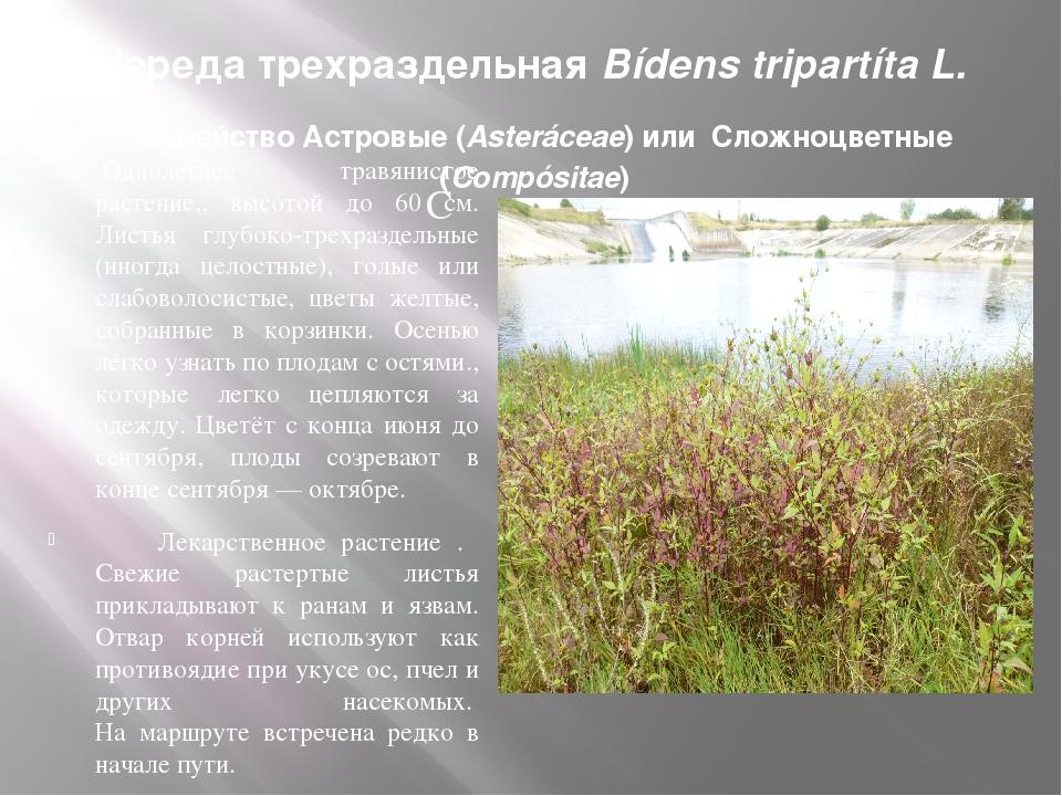 Череда трехраздельная Bídens tripartíta L. Семейство Астровые (Asteráceae) ил...
