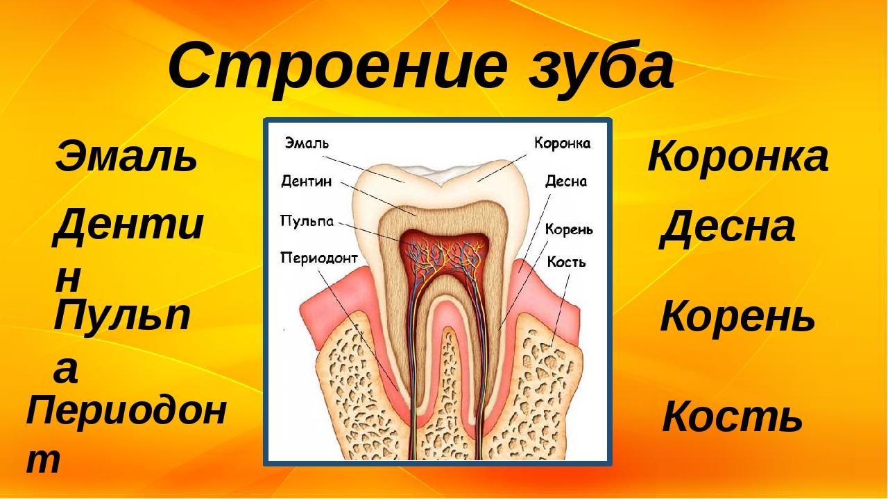 Строение зуба Эмаль Дентин Пульпа Периодонт Коронка Десна Корень Кость