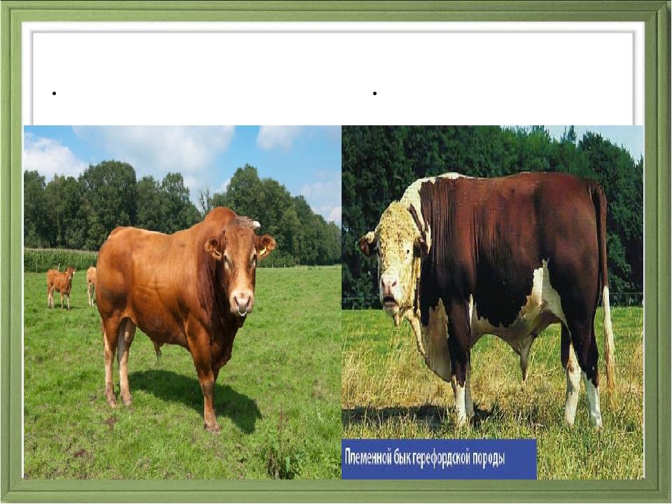 Коровы мясного направления Лимузинская порода Герефордская порода