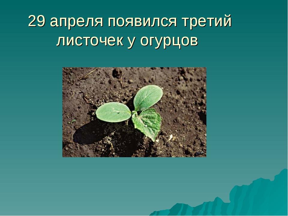 29 апреля появился третий листочек у огурцов