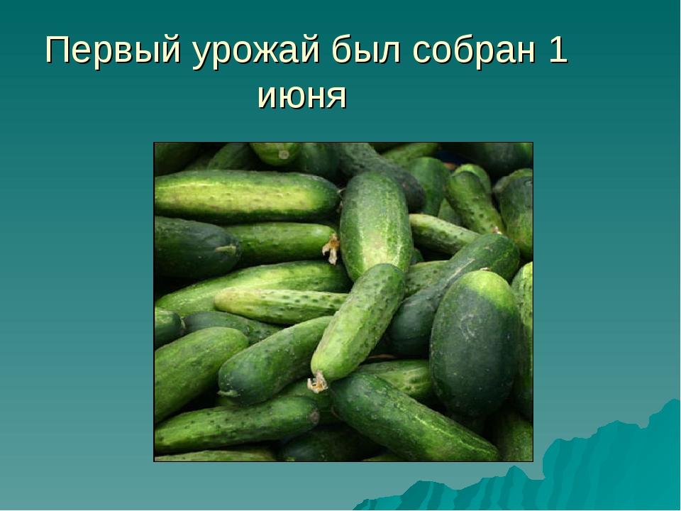 Первый урожай был собран 1 июня