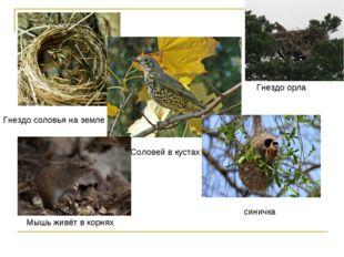 Гнездо соловья на земле Соловей в кустах синичка Мышь живёт в корнях Гнездо о