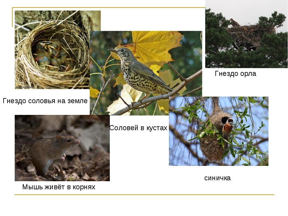 Гнездо соловья на земле Соловей в кустах синичка Мышь живёт в корнях Гнездо о...