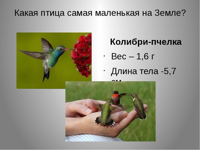 Какая птица самая маленькая на Земле? Колибри-пчелка Вес – 1,6 г Длина тела -...