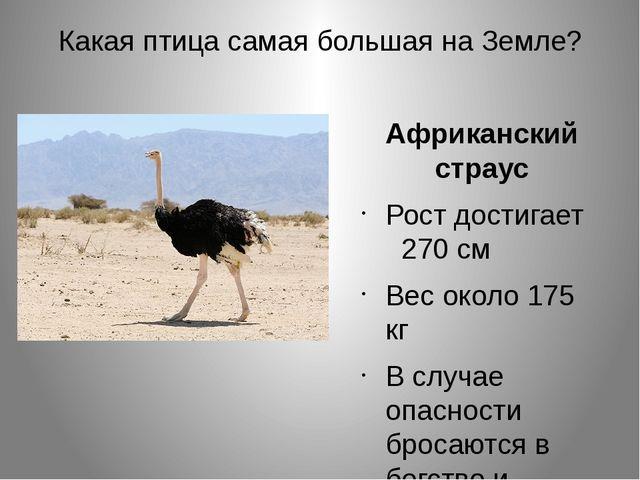 Какая птица самая большая на Земле? Африканский страус Рост достигает 270 см...