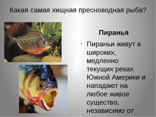 Какая самая хищная пресноводная рыба? Пиранья Пираньи живут в широких, медлен...