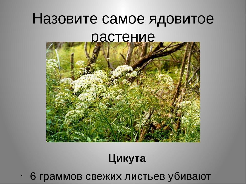 Назовите самое ядовитое растение Цикута 6 граммов свежих листьев убивают чело...