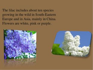 The lilac includes about ten species growing in the wild in South-Eastern Eur