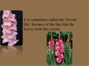 It is sometimes called the 'Sword lily', because of the fact that the leaves