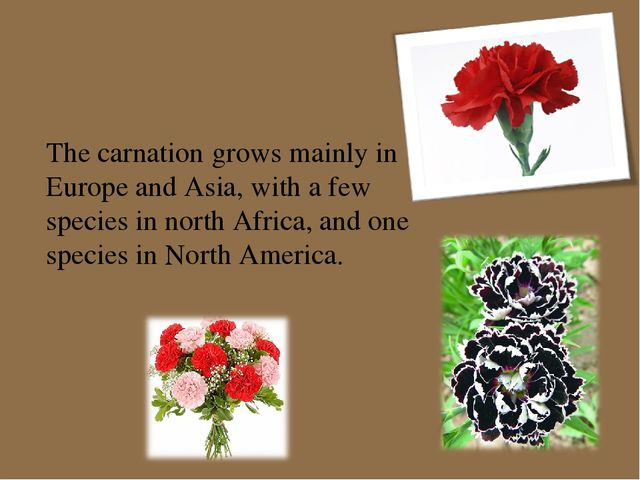 The carnation grows mainly in Europe and Asia, with a few species in north Af...